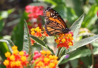 Asclepias Curassavic, Butterfly Garden, Tropical Milkweed, Monarch Butterfly